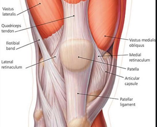 Knee Muscles & Tendons
